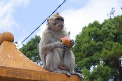 Apen die in de tempel in Mauritius spelen Stock Foto's