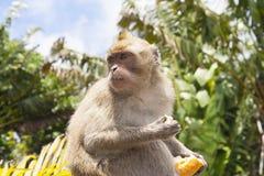 Apen die in de tempel in Mauritius spelen Royalty-vrije Stock Afbeeldingen