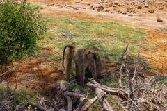 Apen die in de wildernis worden bevlekt royalty-vrije stock fotografie