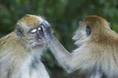 Apen die een andere verzorgen Stock Afbeeldingen