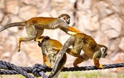 Apen die op de kabel spelen Stock Afbeeldingen