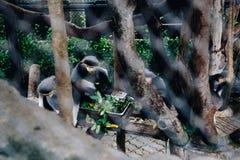 Apen, Dusit-Dierentuin in Bangkok, Thailand stock afbeelding