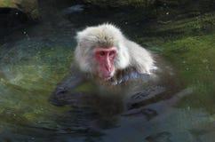 Apen een Japanse Macaque in de hete lentes Royalty-vrije Stock Afbeeldingen