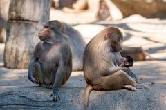 Apen famiiy in dierentuin Stock Afbeelding