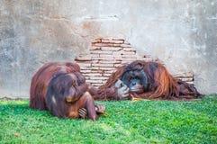 Apen gedwee aan de rest van de leider Royalty-vrije Stock Afbeeldingen