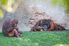 Apen gedwee aan de rest van de leider Stock Foto's