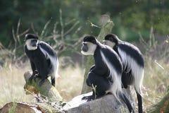 Apen, genoemd guereza Colobus Royalty-vrije Stock Afbeeldingen