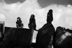 Apen in Hampi, India, Karnataka Royalty-vrije Stock Afbeeldingen