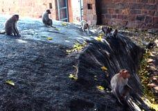 Apen in het fort van tirumayam Royalty-vrije Stock Afbeeldingen