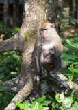 Apen in het mangrovebos Royalty-vrije Stock Foto's