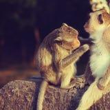 Apen het verzorgen Stock Foto