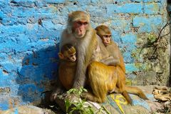 Apen in Katmandu Royalty-vrije Stock Foto