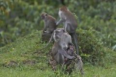 Apen met lange staart en hun babys Royalty-vrije Stock Afbeeldingen