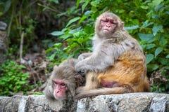 Apen in Nepal Stock Foto