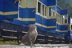 Apen in Nilgiri worden genomen die stock afbeelding