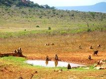 Apen op de savanne Stock Foto's