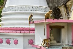 Apen in oude tempel in Mulkirigala, Sri Lanka Royalty-vrije Stock Fotografie