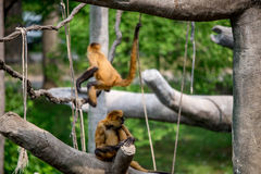 Apen, slingerende primaten royalty-vrije stock afbeelding