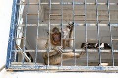 Apen in tempel van Thailand Royalty-vrije Stock Fotografie