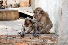 Apen in tempel van Thailand Stock Foto's