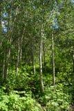 Apen trees Stock Image