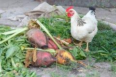 Apenas beterraba e galinha colhidas Fotografia de Stock Royalty Free
