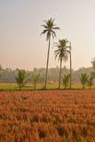 Apenas campo de arroz cosechado en área rural del campo durante salida del sol Fotografía de archivo libre de regalías