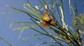 Apenas chocado da borboleta de Caterpillar no ramo fotografia de stock