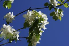 Apenas chovido sobre Árvore de Apple de florescência A árvore de Apple com as flores delicadas brancas e o verde sae em um dia de Foto de Stock