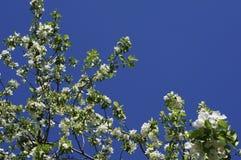 Apenas chovido sobre Árvore de Apple de florescência A árvore de Apple com as flores delicadas brancas e o verde sae em um dia de Foto de Stock Royalty Free