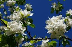 Apenas chovido sobre Árvore de Apple de florescência A árvore de Apple com as flores delicadas brancas e o verde sae em um dia de Fotografia de Stock