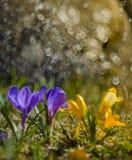 Apenas chovido sobre Açafrões roxos Fotos de Stock