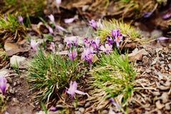 Apenas chovido sobre Açafrões violetas de florescência nas montanhas Prímulas da clareira Imagem de Stock
