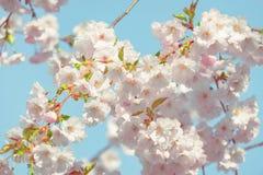 Apenas chovido sobre Fundo da mola com flor de cerejeira, flor de sakura no fundo do céu azul Imagem de Stock Royalty Free