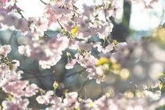 Apenas chovido sobre Fundo da mola com flor de cerejeira, flor de sakura no fundo do céu azul Imagens de Stock Royalty Free
