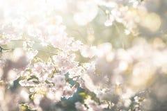 Apenas chovido sobre Fundo da mola com flor de cerejeira, flor de sakura no fundo do céu azul Fotos de Stock Royalty Free