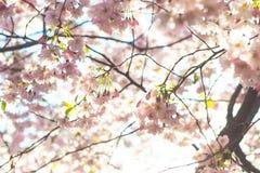 Apenas chovido sobre Fundo da mola com flor de cerejeira, flor de sakura no fundo do céu azul Imagens de Stock