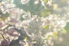 Apenas chovido sobre Fundo da mola com flor de cerejeira, flor de sakura no fundo do céu azul Fotografia de Stock Royalty Free