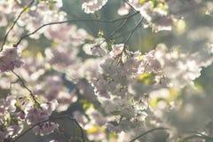 Apenas chovido sobre Fundo da mola com flor de cerejeira, flor de sakura no fundo do céu azul Foto de Stock Royalty Free