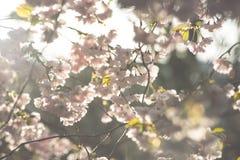 Apenas chovido sobre Fundo da mola com flor de cerejeira, flor de sakura no fundo do céu azul Fotos de Stock