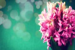 Apenas chovido sobre Jacinto cor-de-rosa no fundo verde Fotografia de Stock