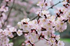 Apenas chovido sobre Árvores de fruta de florescência na mola imagens de stock royalty free