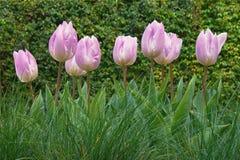 Apenas chovido sobre Tulipa cor-de-rosa das tulipas Imagens de Stock Royalty Free