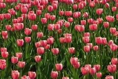 Apenas chovido sobre Tulipa vermelho das tulipas, horizontalmente fundo sem emenda Imagem de Stock Royalty Free
