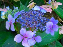 Apenas comenzando a florecer flores azules y violetas del hortensia con las hojas verdes fotos de archivo libres de regalías