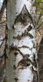 Apenas corteza en un árbol Fotos de archivo