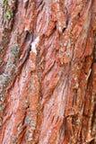 Apenas corteza en un árbol Imagen de archivo