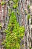 Apenas corteza en un árbol Imagen de archivo libre de regalías