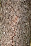 Apenas corteza en un árbol Imagenes de archivo