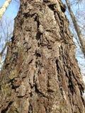 Apenas corteza en un árbol Superficie estructural hermosa de la corteza en diversos árboles Foto de archivo